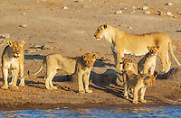 Lion (Panthera leo), two females with three cubs and one subadult male front centre at a waterhole, Etosha National Park, Namibia, Africa