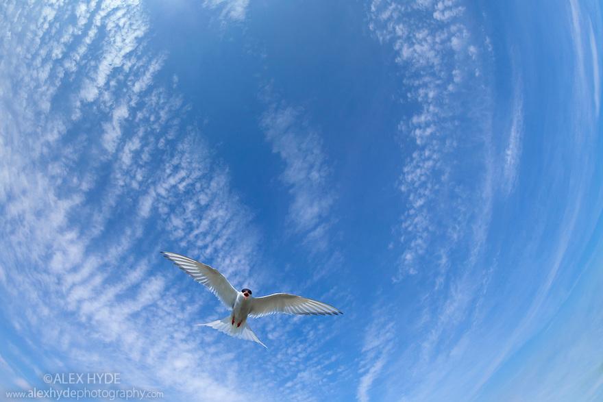 Arctic Tern {Sterna paradisaea} flying overhead. Farne Islands, Northumberland, UK. May.