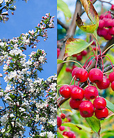 Malus Sugar Tyme crabapple in spring flowers and fall fruits in autumn, composite picture . Crab apple