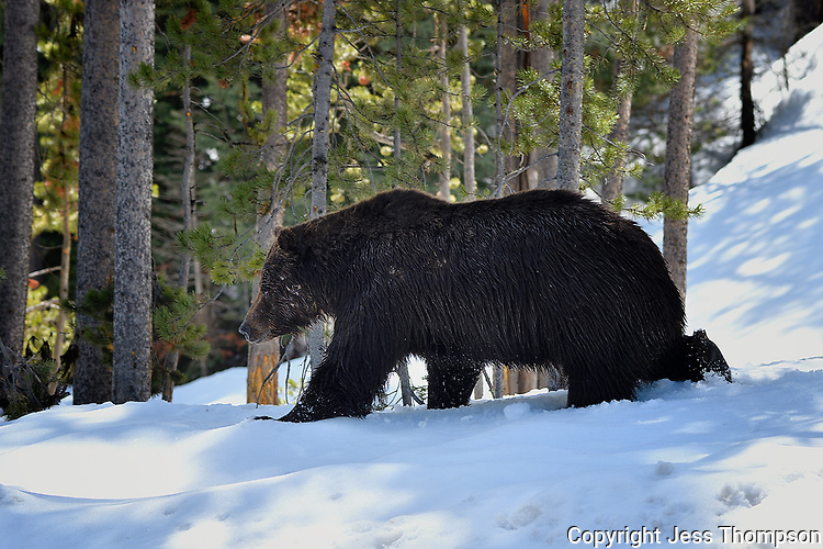 Grizzly Bear, Yellowstone