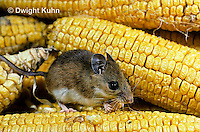 MU54-006z  White-Footed Mouse - eating corn -  Peromyscus leucopus