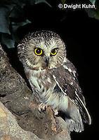 OW02-374z  Saw-whet owl - at nest cavity - Aegolius acadicus