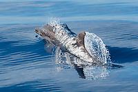 Rough toothed Dolphin, Steno bredanensis, surfacing, Costa Rica, Pacific Ocean