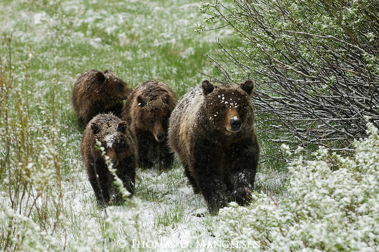 Grizzly No. 399 with her cubs after a spring snowfall in Grand Teton National Park, WY