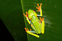 Red-eyed Treefrog, Agalychnis callidryas, in amplexus (mating) at Tirimbina Biological Reserve, Costa Rica.