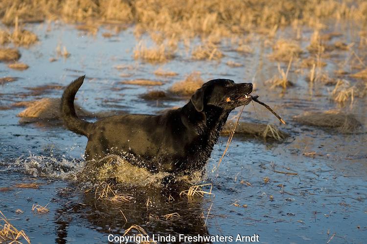 Black Labrador retriever (AKC) retrieving a stick