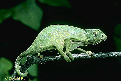 CH02-021z  African Chameleon - showing curled tail holding onto branch - Chameleo senegalensis
