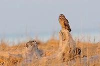 Adult Short-eared Owl (Asio flammeus) perched on drift wood. Seward peninsula, Alaska. June.