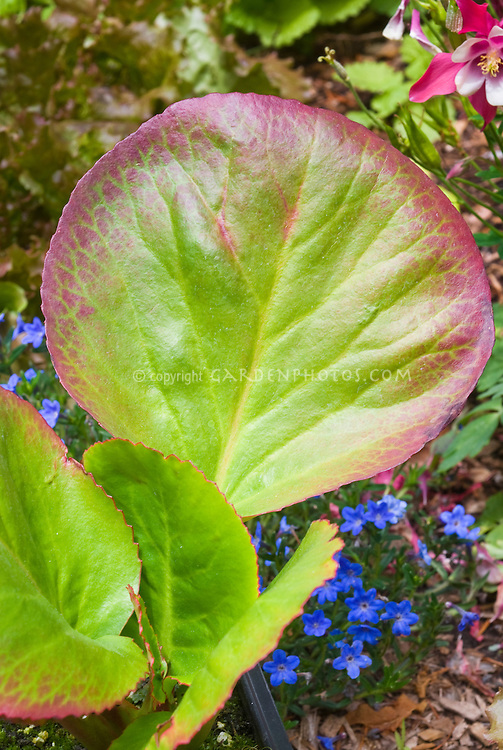 Bergenia cordifolia Winterglut aka Winter Glow in spring foliage with Aquilegia and blue flowers of Lithodora Grace Ward