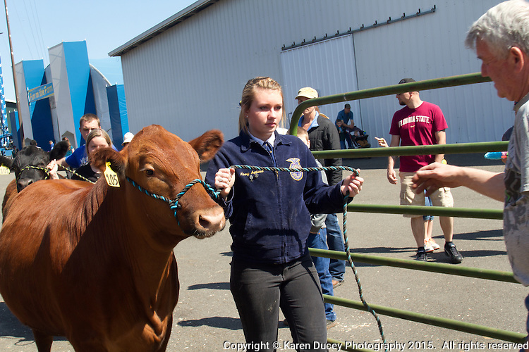 Kasey Asplund, 18 from Milton, Wash. Students in the FFA and 4H programs participate in the auction of livestock including steers, lambs and hogs in the Northwest Junior Livestock Show at the Washington State Spring Fair in Puyallup, Wash. on April 19, 2015.  (photo © Karen Ducey Photography)