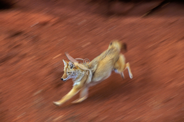 COYOTE running near Canyonlands National Park, Utah..Autumn. (Canis latrans).