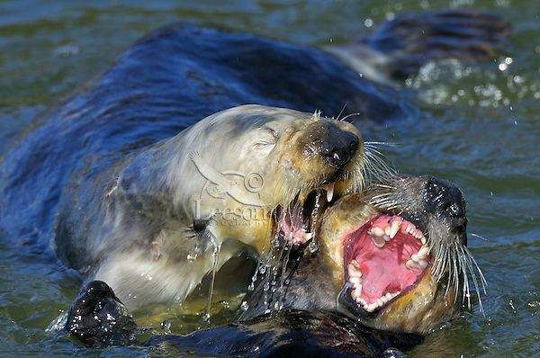 Sea Otter (Enhydra lutris) greeting-playing with one another.