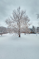 The University of Virginia gingko tree in snow on central grounds.