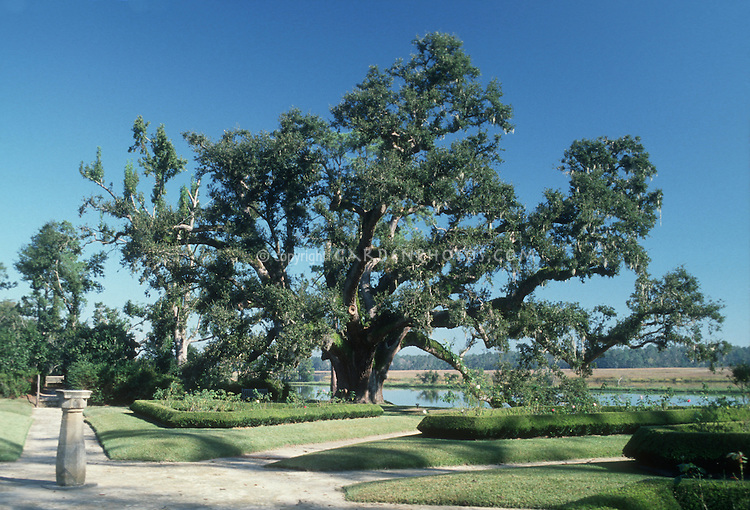 Majestic Live Oak at Middleton Place Plantation, South Carolina