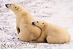 Polar bear and second year cub, Churchill, Manitoba, Canada
