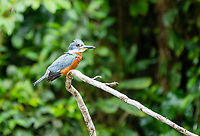Male Ringed Kingfisher, Megaceryle torquata, perched on a branch beside the Tortuguero River (Rio Tortuguero) in Tortuguero National Park, Costa Rica