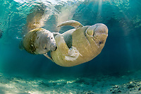Florida manatee, Trichechus manatus latirostris, a subspecies of the West Indian manatee, Trichechus manatus, mother, and calf, playing, hanging on to mother's belly for a barrel roll ride, Three Sisters Springs, Crystal River, Florida, USA