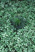 Lamium maculatum Beacon Silver with Helleborus