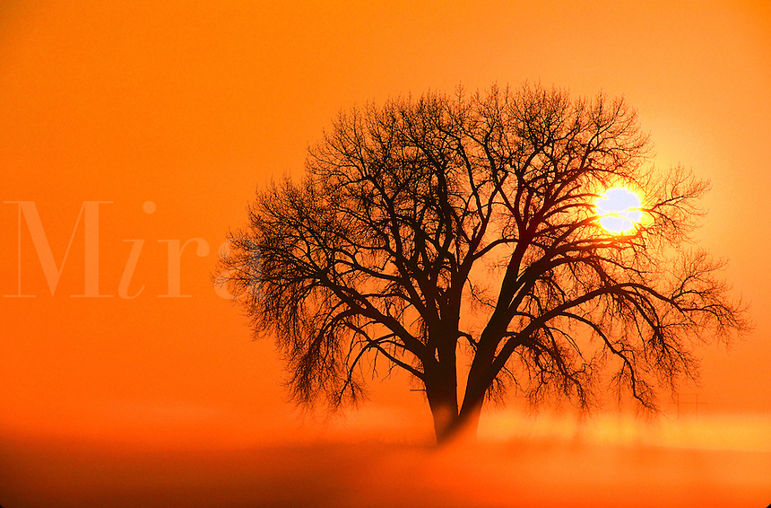 Sunrise through single tree in sillhouette.