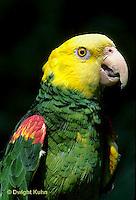 PA01-021z  Yellow-headed Amazon Parrot - Amazona ochrocephala