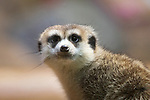 Meerkats are good at staring contests.  They always win.