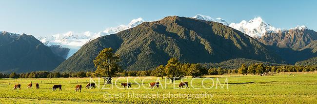 Morning on beef farm at Fox Glacier, Westland Tai Poutini National Park, West Coast, New Zealand, NZ