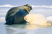 Harp Seal, Pagophilus groenlandicus (formerly Phoca groenlandica), Mother nursing pup, Magdalen Islands, Quebec CANADA, Gulf of St. Lawrence