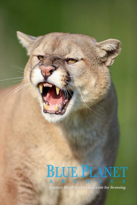 Puma (Puma concolor), adult, snarling, portrait, Minnesota, USA, America, North America