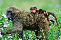 Savanna Baboons or common baboons (Papio cynocephalus)--mother with young.  Serengeti National Park, Tanzania. Feeding on wild Tissue Flowers.