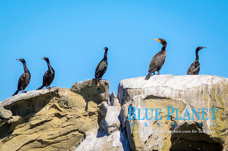pelagic cormorant, or palagic shag, Phalacrocorax pelagicus, and double-crested cormorant, Phalacrocorax auritus, Salish Sea, British Columbia, Canada, Pacific Ocean