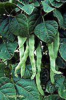 HS30-032x  Bean - pole bean