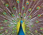 Peacock, Bahia, Brazil