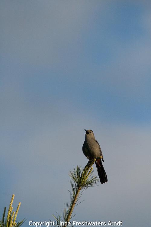 Gray catbird (Dumetella carolinensis) singing