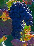 Italien, Latium, Weinbau in der Region Sabina: blaue Weintraube | Italy, Lazio, wine growing at Sabina region: blue grapes