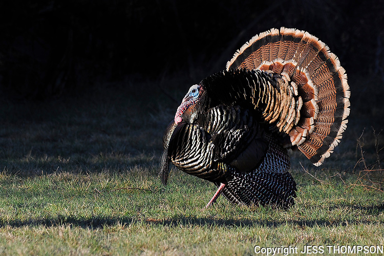 Wild Turkey Tom, San Angelo, TX
