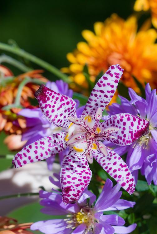 Tricyrtis formosana Purple Beauty with Aster Twist