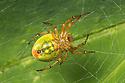 Cucumber Spider (Araniella cucurbitina) female. Nordtirol, Austrian Alps, Austria, July.