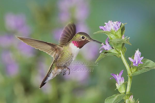 Broad-tailed Hummingbird, Selasphorus platycercus,male in flight feeding on Clustered Bellflower (Campanula glomerata),Rocky Mountain National Park, Colorado, USA