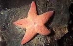 Winged, or sponge eating sea star