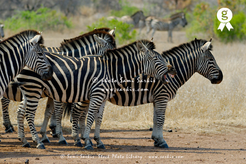 Herd of Burchell's Zebras (Equus burchelli), side view (Licence this image exclusively with Getty: http://www.gettyimages.com/detail/74583323 )