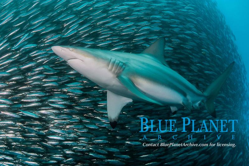blacktip shark, Carcharhinus limbatus, patroling baitball of sardines, Sardinops sagax, Transkei, South Africa, Indian Ocean