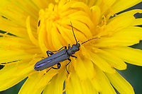 Schenkelkäfer, Oedemera spec., Oedemera sp., Scheinbockkäfer, Schein-Bockkäfer, Scheinböcke, Scheinbock, Schenkelbock, Pollen-feeding Beetle, Thick-legged Flower Beetle, false blister beetles, pollen-feeding beetles, Oedemeridae