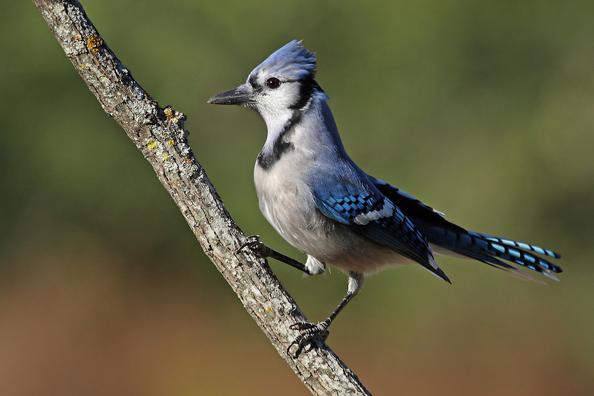 Early Texas folklore relates a tale of the blue jay being yoked to a plow by a sparrow. The mark left by the yoke can still be seen on the blue jay's breast.<br /> Nature's Garden Magazine.