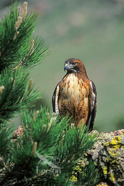 Red-tailed hawk (Buteo jamaicensis).  Western U.S.