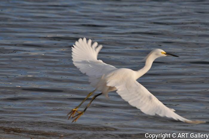 Egret in flight.