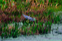 Blue Herron, Green Cay, Delray Beach, FL, United States