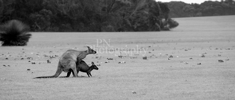Day 13 poor young kangaroo what a big bully he was caught in action at Hanson Bay photographed late afternoon.