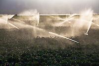Farm sprinklers watering cauliflower crop at Huntington Farms, Salinas Valley, California