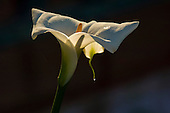 White lily flower with dew drop.