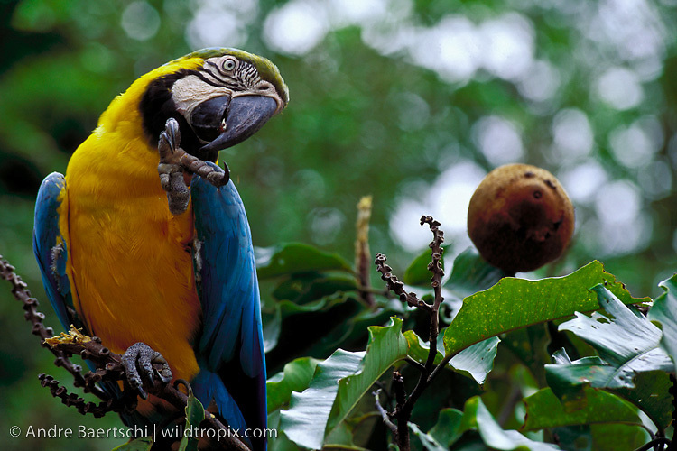 Blue-and-Yellow Macaw (Ara ararauna) perched on a Brazil nut tree (Bertholletia excelsa), lowland tropical rainforest, Tambopata National Reserve, Madre de Dios, Peru.